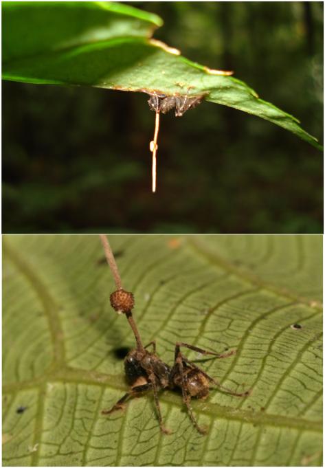 Cadáveres de hormiga infectados con Ophiocordyceps unilateralis